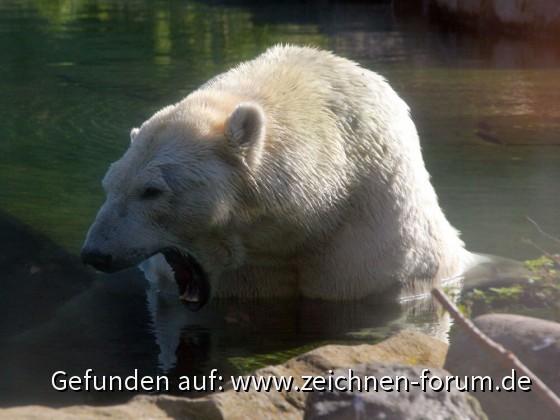 Fotovorlage zum Abzeichnen: Badender Eisbär