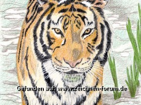 Tiger mit Polychromos Buntstiften gemalt