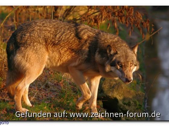 Wolf (sincap64)