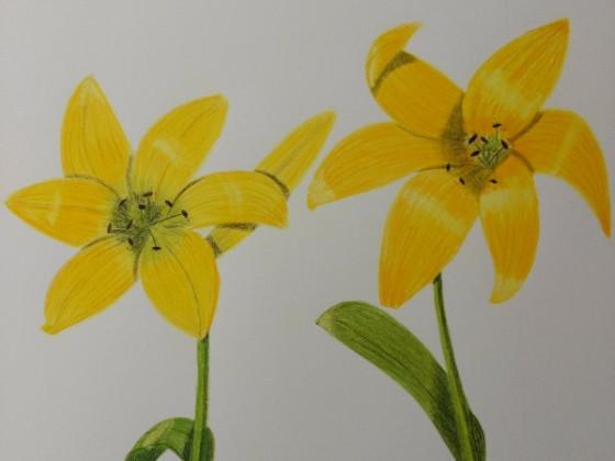 Zwei gelbe Lilien