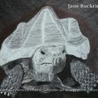 Kuli Schildkröte