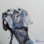 Blaugraue Dogge