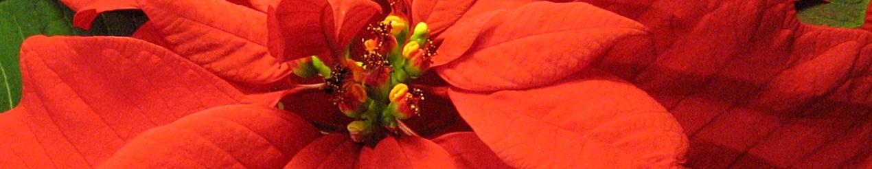 Zeichenübung 35 - Euphorbia pulcherrima