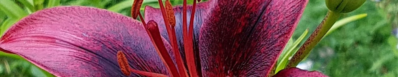 Zeichenübung 72 - rote Lilie